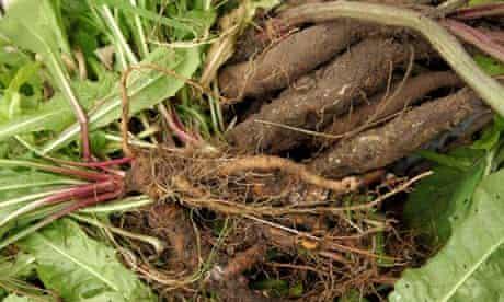 Dandelion and burdock roots