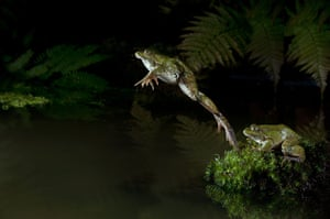High Speed Photography : A Marsh Frog dives into a pond