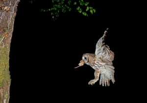 High Speed Photography : A Tawny Owl returns to the nest with a Dormouse