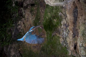 High Speed Photography : A Kingfisher returns to the nest with a fish