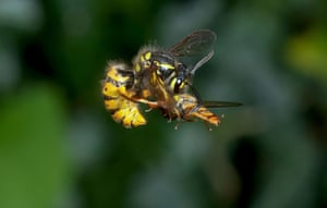 High Speed Photography : Wasp attacking a hoverfly