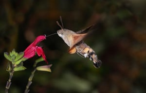 High Speed Photography : A Hummingbird Hawk Moth feeds from a flower