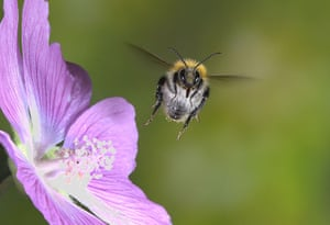 High Speed Photography : A Bumble Bee hovers around a flower
