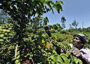 Coffee in Kenya: James Kamande tending to a coffee tree