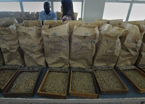 Coffee in Kenya:  coffee beans being sorted according to quality