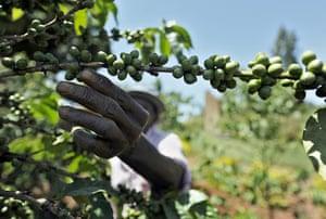 Coffee in Kenya: Kenyan James Kamande tends to a coffee tree