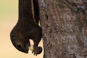 week in wildlife: Plantain Squirrel at Labrador Nature Reserve