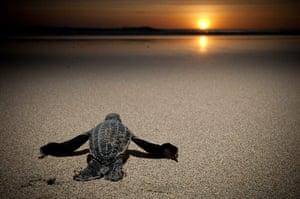 week in wildlife: Leatherback turtles