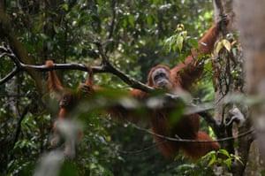 week in wildlife: Orangutan and baby swining in the trees