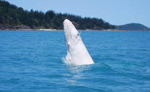week in wildlife: white humpback whale calf