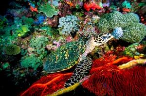 week in wildlife: Hawksbill turtles
