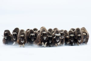 WPY 2011: Mammals behaviour :The charge by Eric Pierre