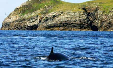 A minke whale seen off the Hebrides of Scotland