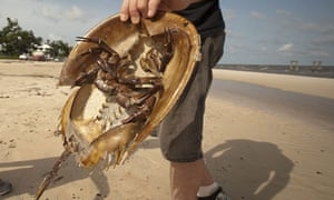 Horseshoe crab on a beach in Mississippi