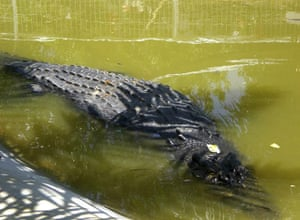 giant crocodile captured: Lolong, swims in a shallow pond inside its temporary cage