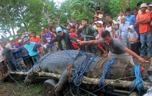 giant crocodile captured: Residents use their hands to measure a saltwater crocodile