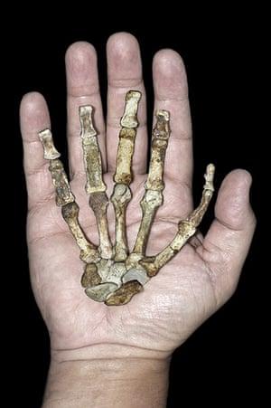 Primitive hominin : Australopithecus sediba
