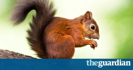 Brownsea Island Red Squirrel Population At Capacity Environment