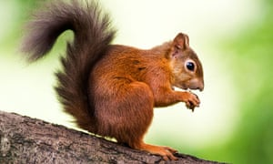 https://i.guim.co.uk/img/static/sys-images/Guardian/Pix/pictures/2011/9/8/1315477432509/Red-squirrels-on-Brownsea-007.jpg?width=300&quality=85&auto=format&fit=max&s=c0d62eff39ec10e475d847b29dba1d71
