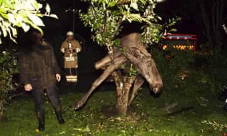 A moose stuck in an apple tree in Gothenburg, Sweden