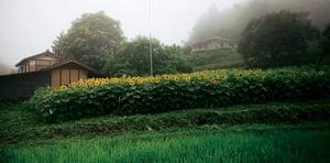 Fukushima: six months on: Fukushima: Sunflowers
