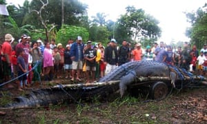 A giant saltwater crocodile after it was caught in the Philippines