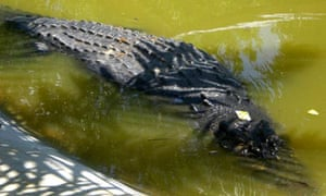 Lolong the crocodile is being monitored for signs of stress