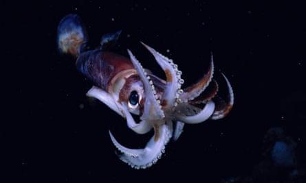 An Illex squid.