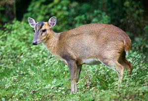 Invasive species: Muntjac Deer; Muntiacus reeversi; female