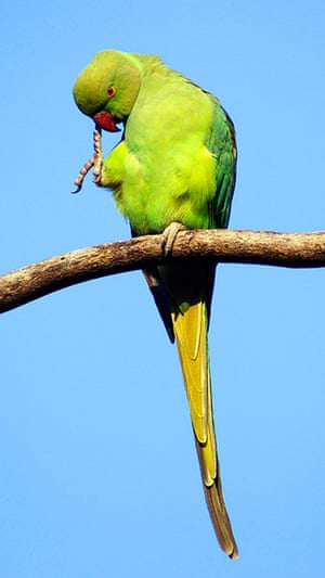 Invasive species: Ring-necked Parakeet