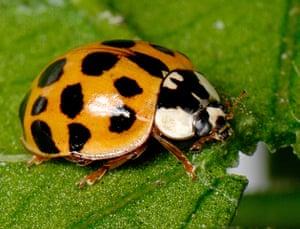 Invasive species: Harlequin ladybird