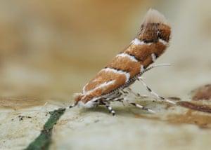 Invasive species: Horse-chestnut Leaf-miner