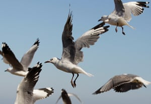 24 hours: South Africa: Gulls take off on the west coast