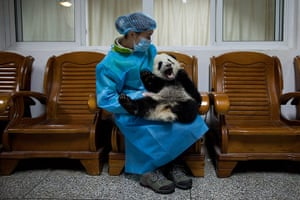 China environmental year: A panda keeper sits with a four-month-old cub