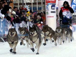Sled dog race : La Grande Odyssee sled dog race