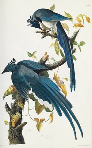 The Birds of America: Columbia Jay
