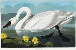 The Birds of America: Common American Swan