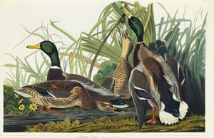 The Birds of America: The Mallard Duck