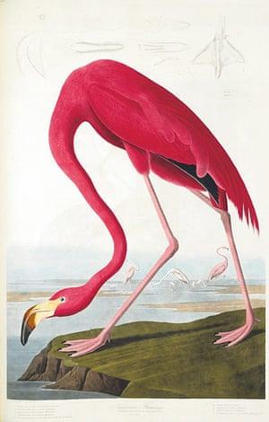 The Birds of America: American Flamingo