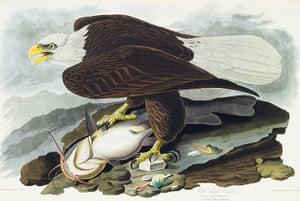 The Birds of America: White Headed Eagle