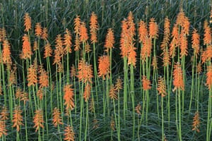The Doors of Perception: Red Hot Pokers