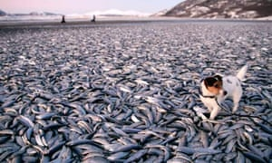 Molly the dog walks around dead herring on a beach at Kvennes in Nordreisa