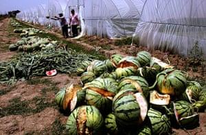 China environmental year:: Exploding melons in Dayang