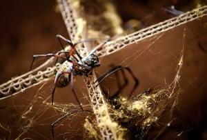 Spider cape: Golden orb spider