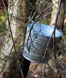 Tapping birch sap