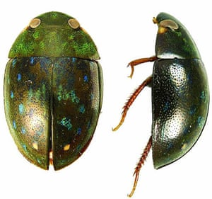 Suriname: Potentially new water beetle species
