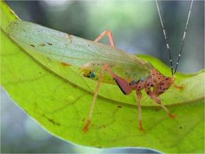 Suriname: Potentially new species of katydid