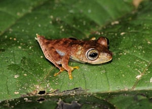 Suriname: Potentially new species of frog : cowboy frog