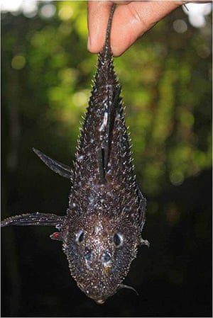Suriname: catfish whose armor (external bony plates) is covered with spines