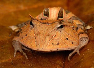 "Suriname: Suriname horned frog or ""Pac-Man frog"""